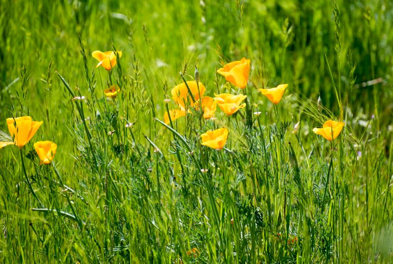 Meadow_Poppies_DSC_5433