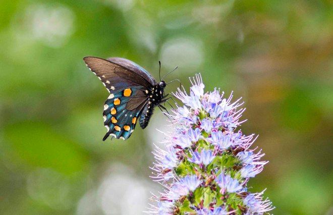 Pipevine Swallowtail_DSC_4561