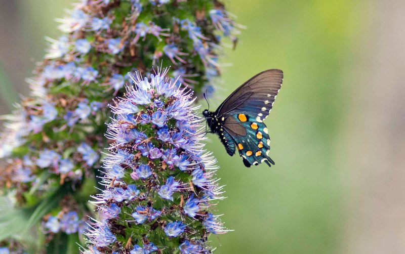Pipevine Swallowtail_DSC_4568