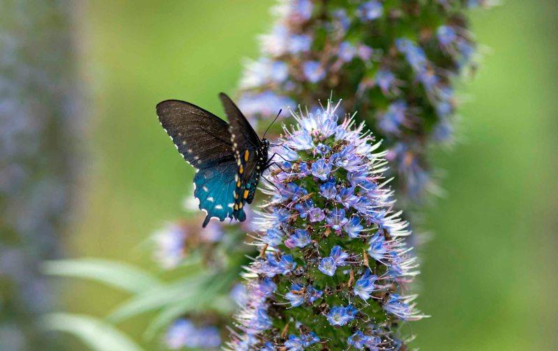 Pipevine Swallowtail_DSC_4580