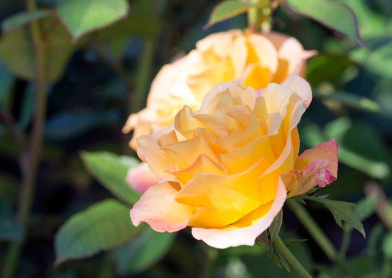 Rose_DSC_4923
