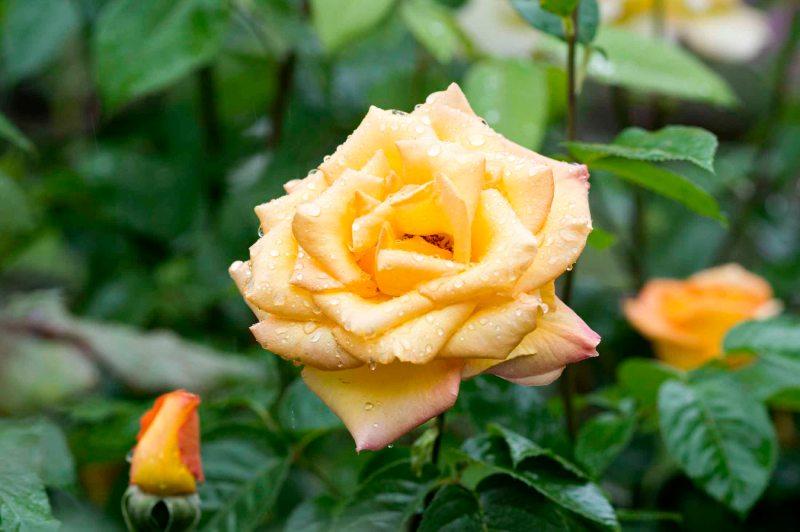 Rose_Rain_DSC_4591