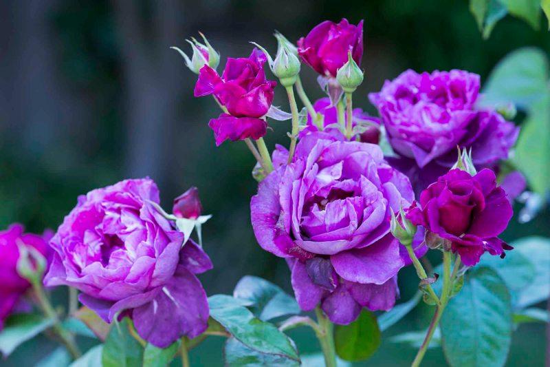 Roses_DSC_4905