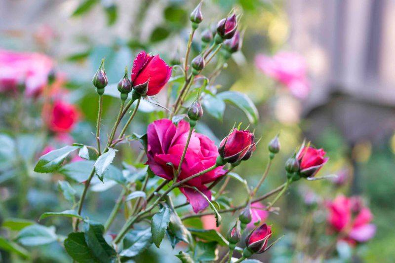 Roses_DSC_4912