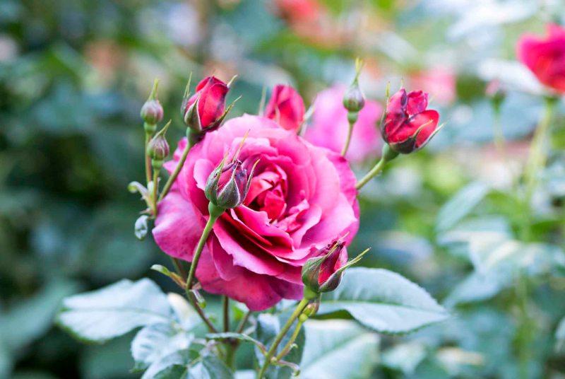 Roses_DSC_4913