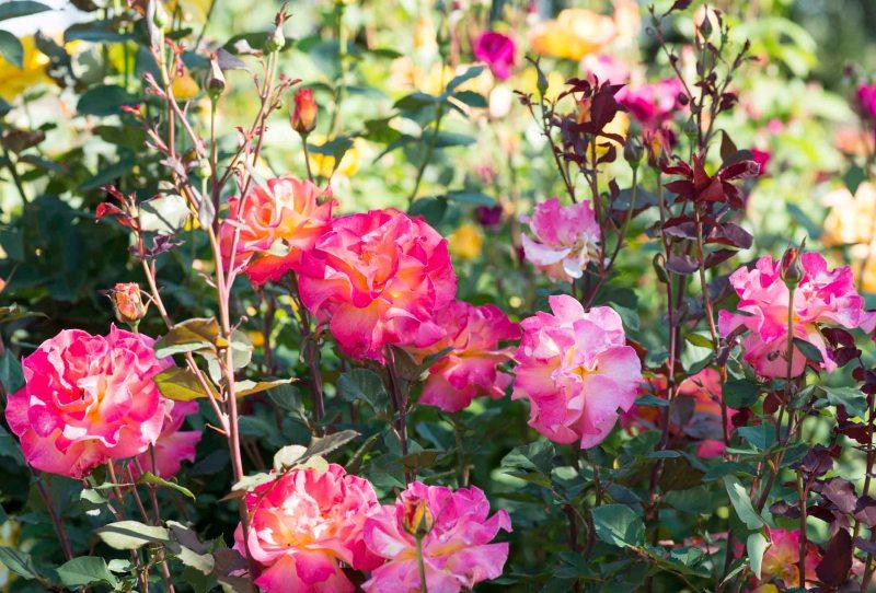 Roses_DSC_4918