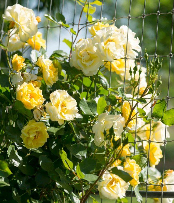 Roses_DSC_4931