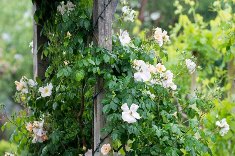Roses_Rain_DSC_4589