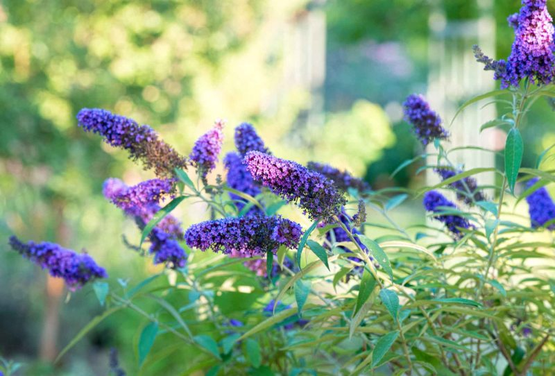 Butterfly Bush_DSC_6567
