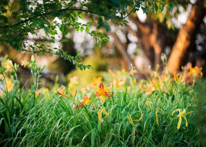 Daylilies_Evening_DSC_6849