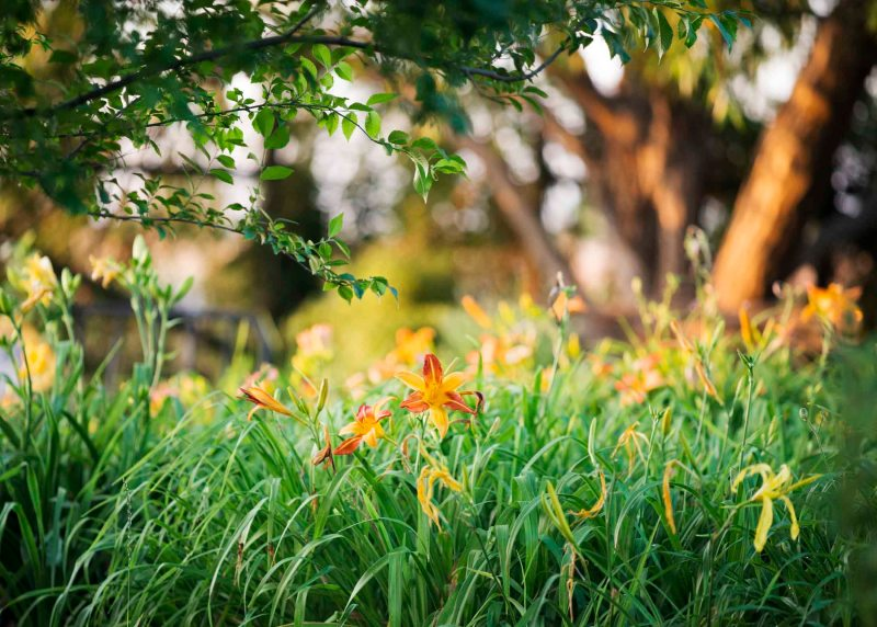 Daylilies_Evening_DSC_6849