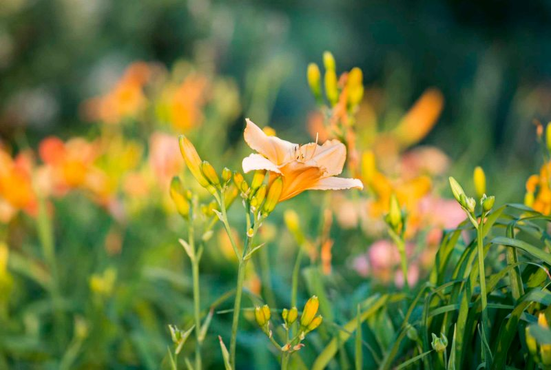 DayLily_Evening_DSC_6852