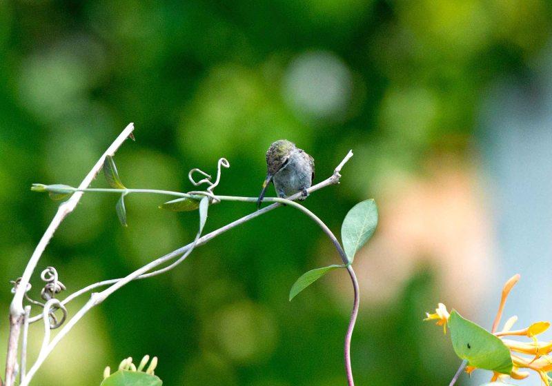 Hummingbird_DSC_5594
