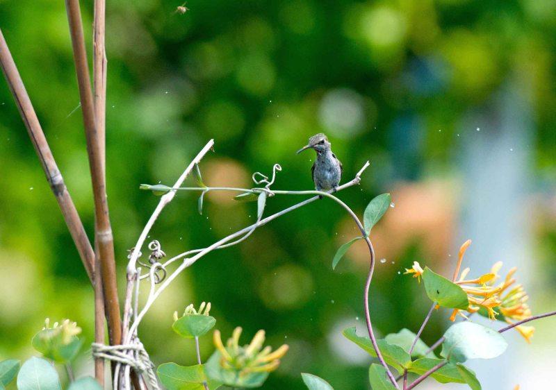 Hummingbird_DSC_5595
