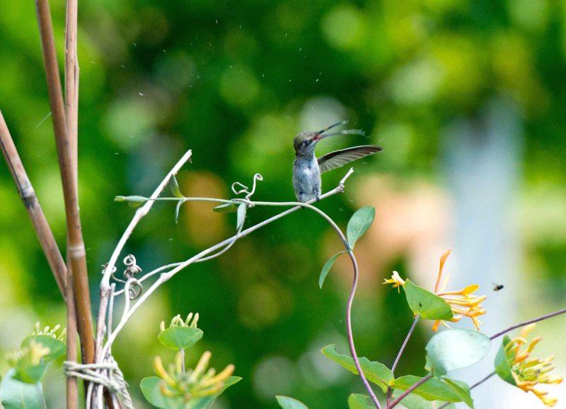 Hummingbird_DSC_5596