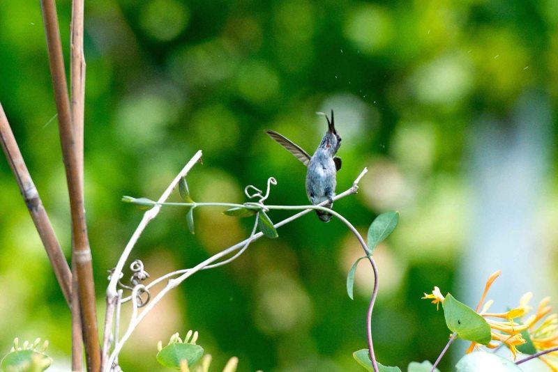 Hummingbird_DSC_5597