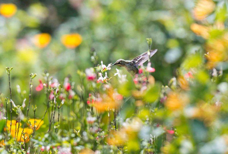 Hummingbird_DSC_5626