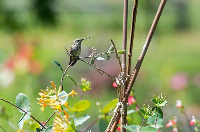 Hummingbird_DSC_5648