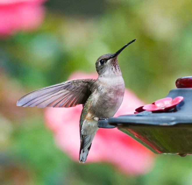 Hummingbird_DSC_5851