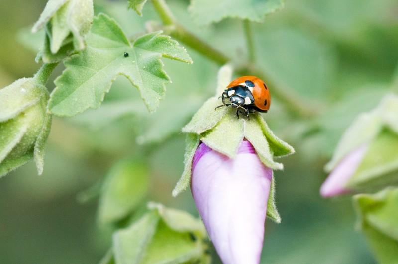 Ladybug_DSC_6468