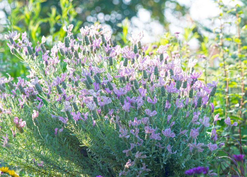 Lavender_DSC_6513