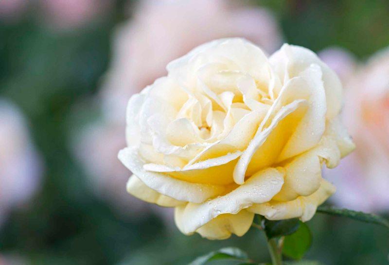 Rose_DSC_5898