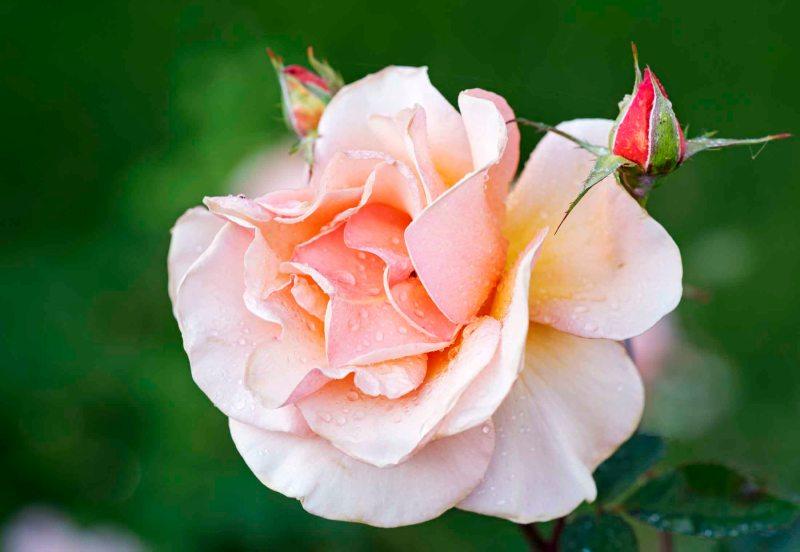 Rose_DSC_5899