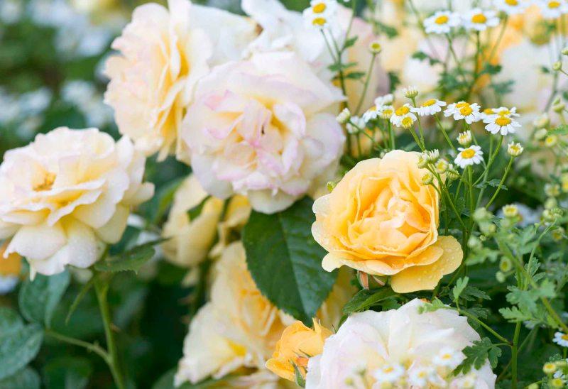 Roses_DSC_5897
