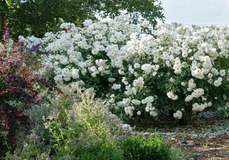 Roses_DSC_6245