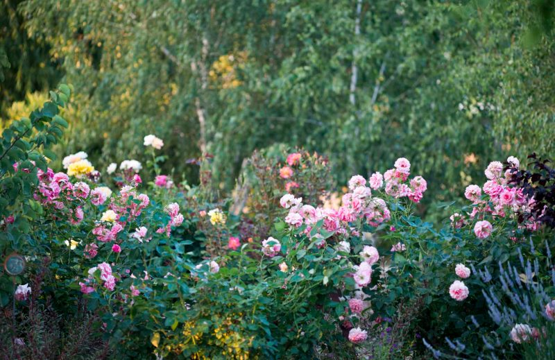 Roses_Evening_DSC_6848