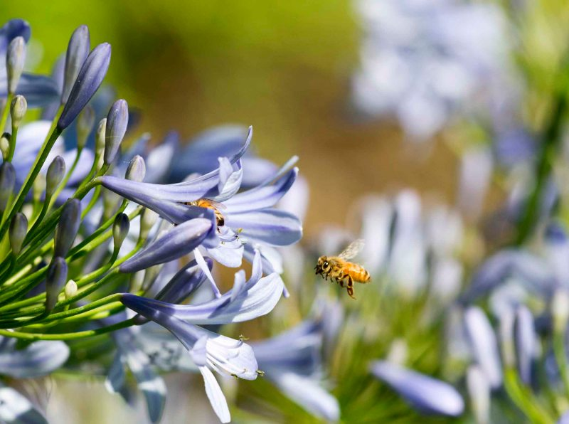 Bee_Agapanthus_DSC_8274