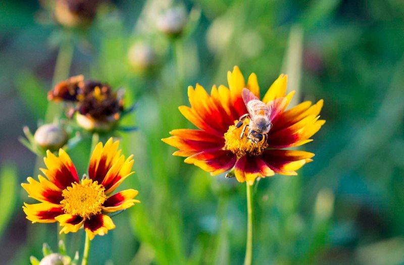 Bee_Coreopsis_DSC_7486