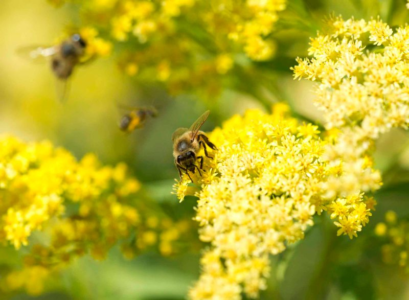 Bee_Goldenrod_DSC_8260