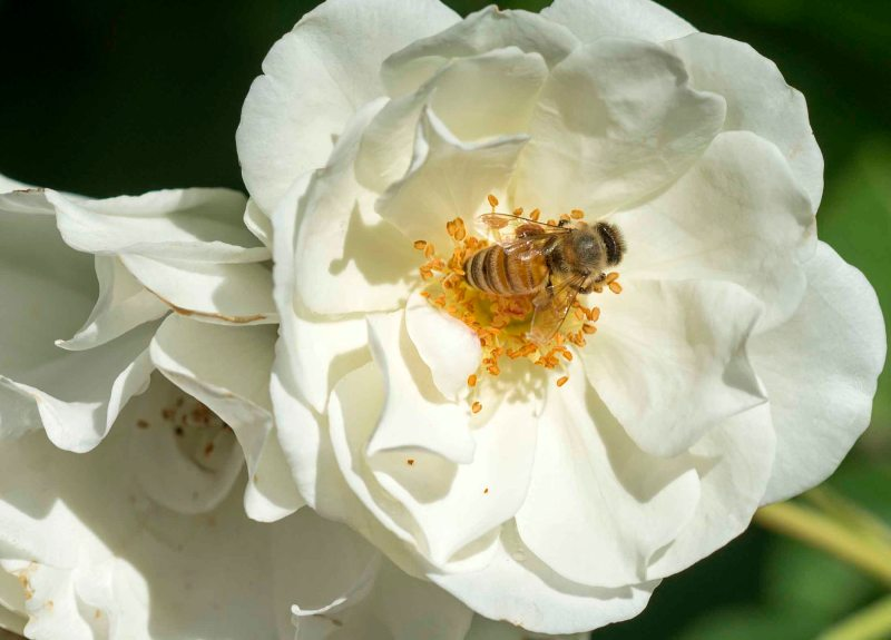 Bee_White Rose_DSC_8319