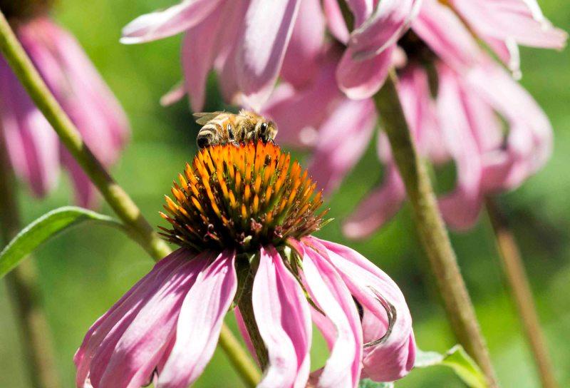 Bees_Coneflower_Detail_DSC_8341