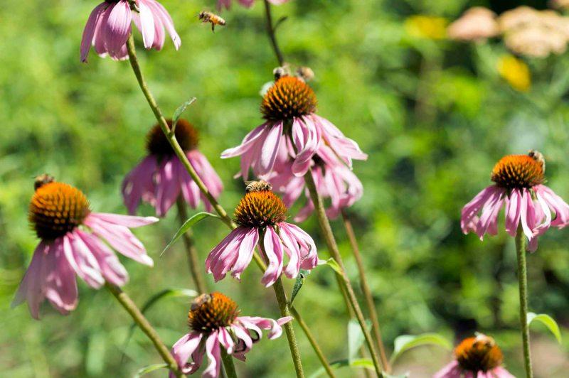 Bees_Coneflower_DSC_8341