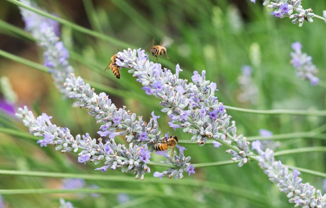 Bees_Lavender_DSC_7691