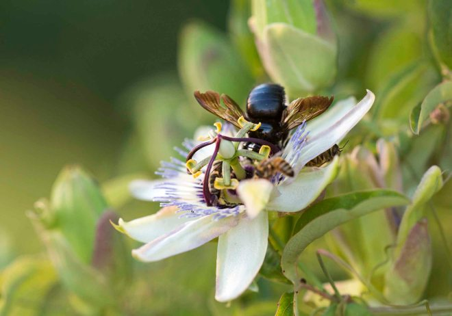 Bees_PassionFlower_DSC_7460