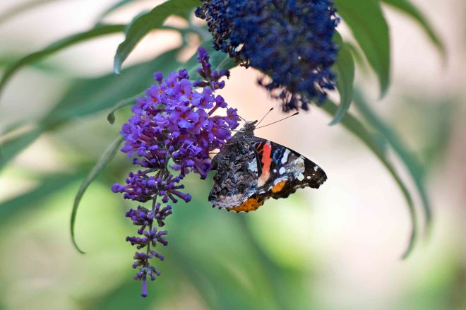 Red Admiral Butterfly_DSC_7296