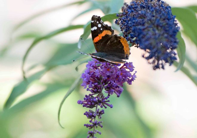Red Admiral Butterfly_DSC_7306