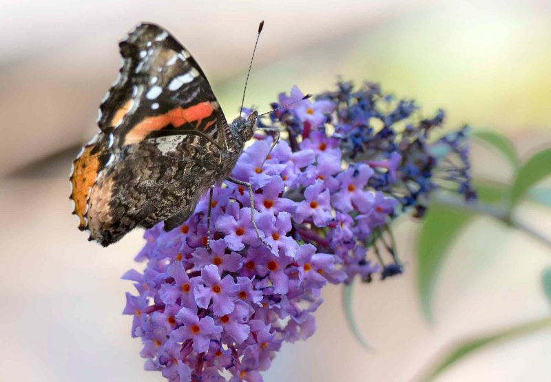 Red Admiral Butterfly_DSC_7358