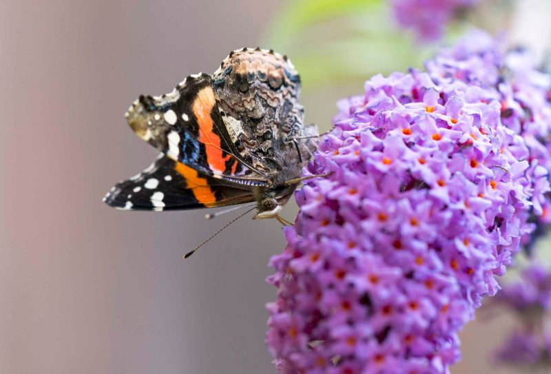 Red Admiral Butterfly_DSC_7389