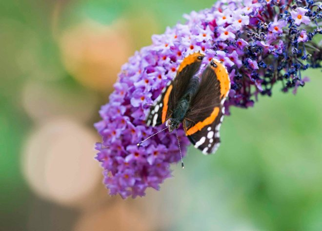 Red Admiral Butterfly_DSC_7416