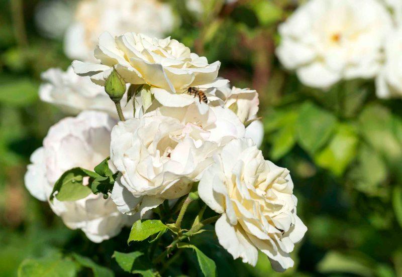 White Roses_DSC_8210