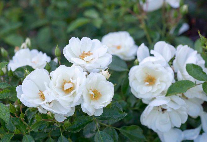 White Roses_DSC_8222