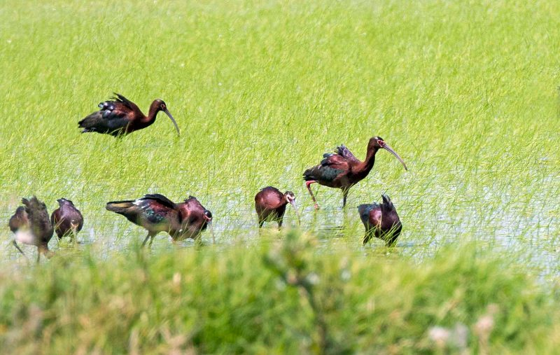 White_Faced_Ibis_DSC_7231