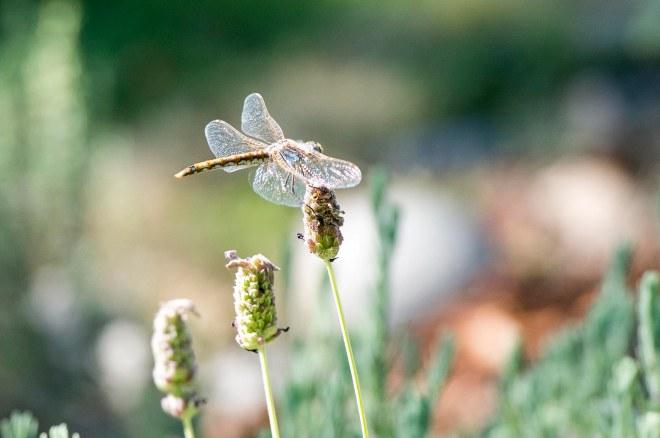 Dragonfly_DSC_9065