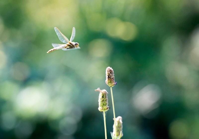 Dragonfly_DSC_9066