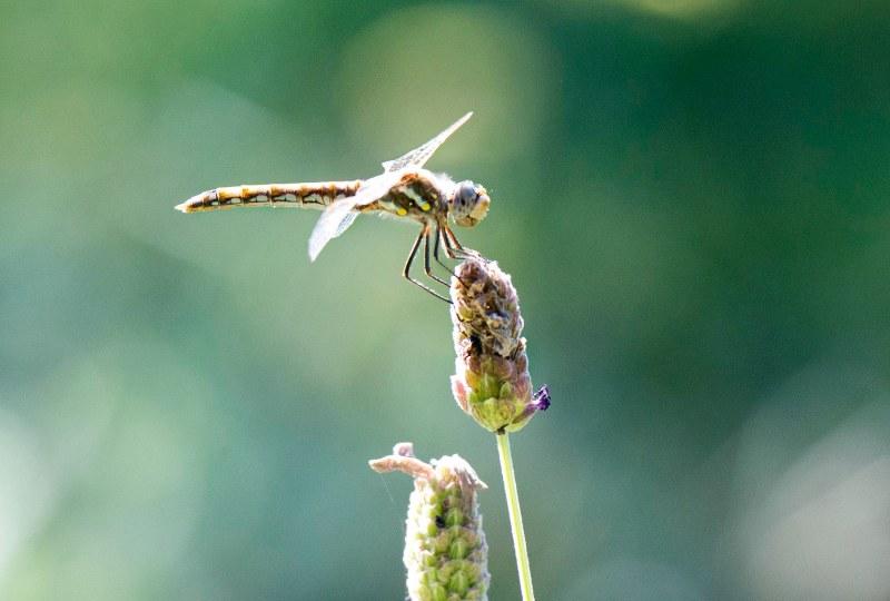 Dragonfly_DSC_9067