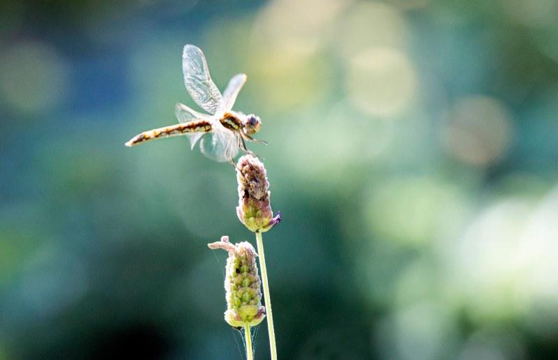 Dragonfly_DSC_9068